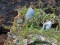 Mycena pseudocorticola, fot. Waldemar Czerniawski