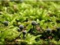 Mycena pseudocorticola, fot. Jacek Nowicki