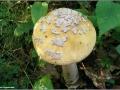 Amanita ceciliae