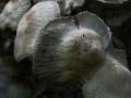 Asterophora parasitica