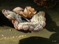 Auricularia mesenterica