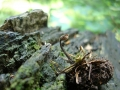 Auriscalpium vulgare
