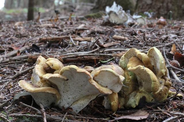 Albatrellus cristatus