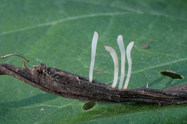 Typhula uncialis