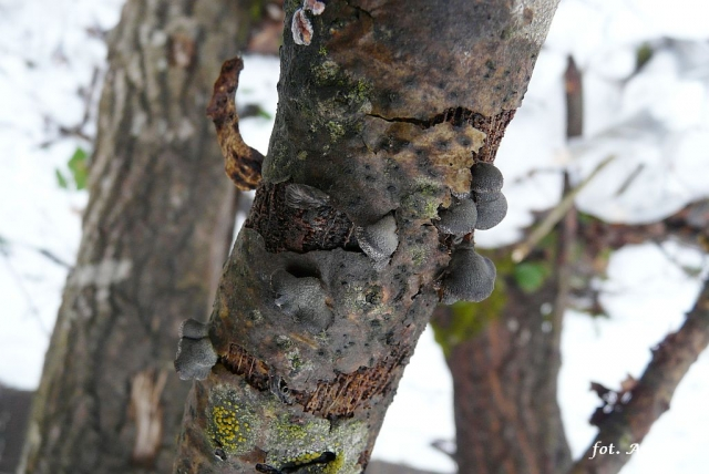 Hohenbuehelia unguicularis