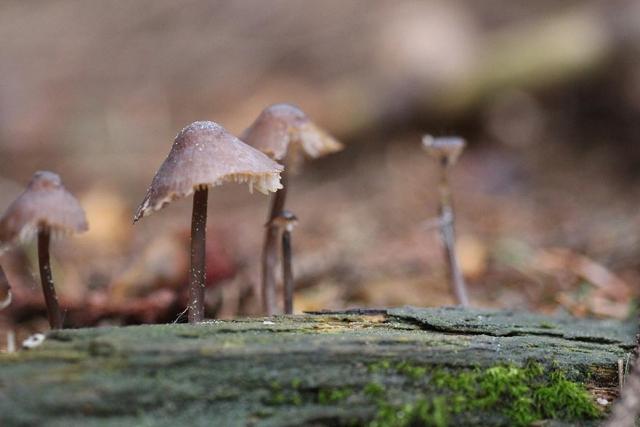 Mycena silvae-nigrae
