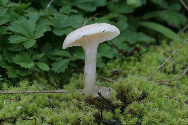 Cuphophyllus virgineus