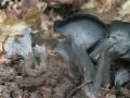 Cantharellus cinereus