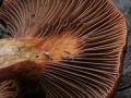 Chroogomphus rutilus