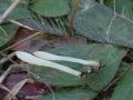 Clavaria acuta