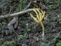 Clavulinopsis corniculata