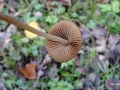 Conocybe subovalis