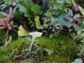 Cotylidia muscigena