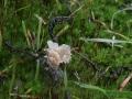 Cotylidia undulata