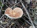 Cystodermella granulosa