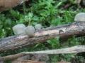 Hohenbuehelia cyphelliformis
