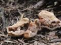 Hydnotrya michaelis