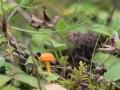 Hygrocybe calciphila