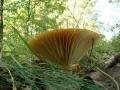 Hygrophorus nemoreus