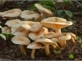 Hygrophorus pudorinus