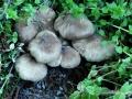 Lyophyllum decastes