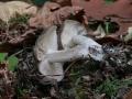 Lyophyllum fumosum