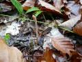 Macrotyphula fistulosa