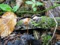 Mycena crocata, fot. Ania Hreczka