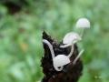 mycena-cyanorhiza3