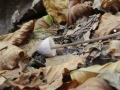 Mycena filopes
