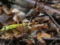 Mycena galopus, fot. Waldemar Czerniawski