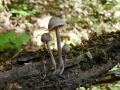 Mycena haematopus, fot. Ania Hreczka