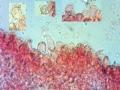 Mycena metata
