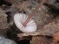 Mycena sanguinolenta, fot. Waldemar Czerniawski