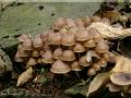 Mycena tintinnabulum