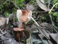 Mycetinis scorodonius