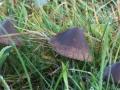 Panaeolus acuminatus