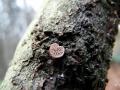 Panellus violaceofulvus