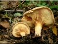 Paxillus rubicundulus