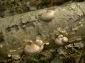 Pleurotus calyptratus
