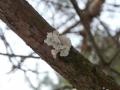 Plicaturopsis crispa