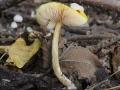 Pluteus leoninus