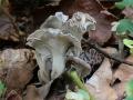 Pseudocraterellus undulatus