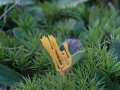 Ramariopsis crocea