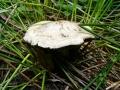 Suillus viscidus