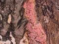 Tulasnella violea