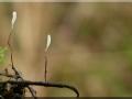 Typhula erythropus