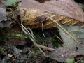 Typhula phacorrhiza