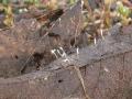 Typhula setipes