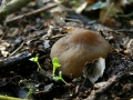 Verpa conica